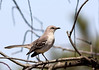 Northern Mockingbird (Mimus polyglottos) - the state bird of Texas.