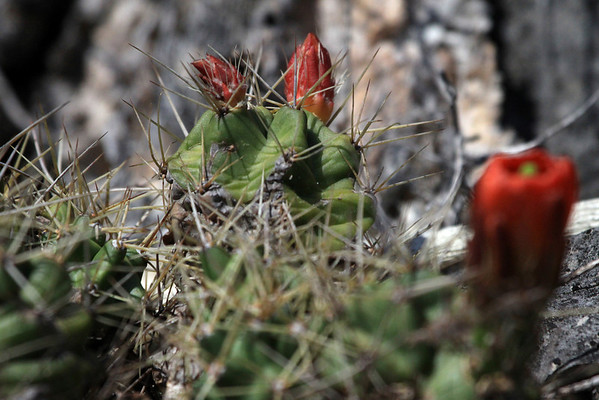 Spines protruding from the areoles - amongst the flower buds of the Claret Cup Cactus.