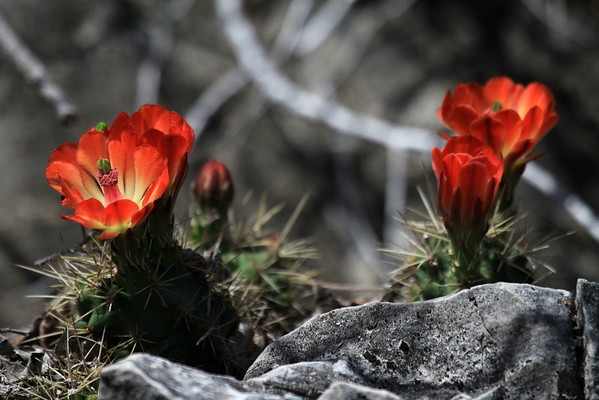 Claret Cup Cacti - displaying its florescence and spines during the very early Spring season.