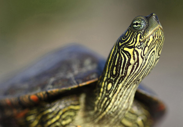 Texas Map Turtle - distinguished from the 5 species of map turtles in Texas, by the J-shaped mark behind the eye (yellow colored) - and the round pupil and bright iris with a partial bar across the pupil.