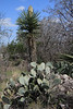 Prickly Pear Cactus - the state plant of Texas - adjacent the blooming Spanish Dagger (Yucca treculeana) - Burnet county.