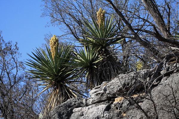 Blooming Spanish Dagger yuccas along the sedimentary limestone rock ledge above Flat Rock Creek - Burnet county.