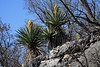 Blooming Spanish Dagger yuccas along the sedimentary limestone rock ledge above Flat Rock Creek - Burnet county.