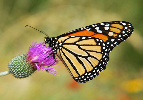Monarch Butterfly - only the 4th generation of monarchs (Sept.-Oct.) make the migration, for the first 3 (life span about 6 weeks) die - the stages of the butterfly are 1) egg, attached to milkweed leaf - 2) larvae or catepillar, feeding upon the milkweed - 3) pupa, wrapped in a cocoon and undergoing metamorphosis - 4) butterfly.  This specimen feeding on the florescence of a thistle.