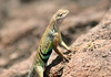 Greater Earless Lizard - this species feeds on a variety of insects including grasshoppers, butterflies, moths, bees, wasps, caterpillars, beetles, and ants.