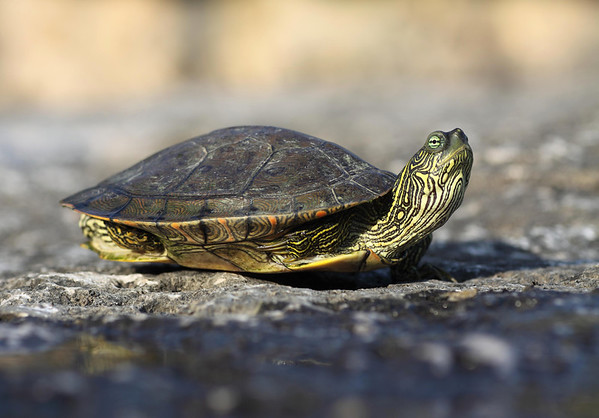Texas Map Turtle - with its legs tucked between  it upper carapace and lower plastron shells.