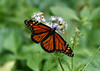 Monarch Butterfly  (Danaus plexippus) - the state butterfly of Texas - this specimen a male, distinguished by the black spot on each of its hind winds, along the dark veins.