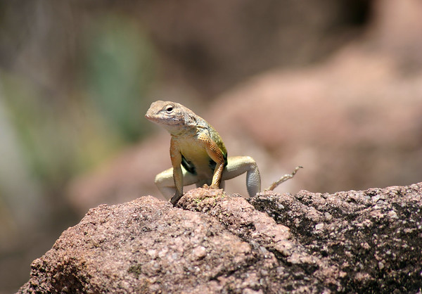 Greater Earless Lizard - both sexes are territorial and exhibit head bobbing, push-ups, and lateral compression of the body when approached by an outsider.