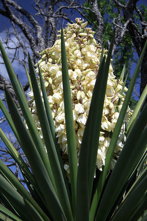 Spanish Dagger (Yucca treculeana) - displaying its cluster bloom above its long, rigid, and pointed leafs - Burnet county.