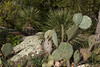 Rain or Prairie Lily - Texas Pricklypear Cactus - Soaptree Yucca - lichen encrusted, pink volcanic granite.