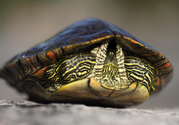 Texas Map Turtle - retracted between its upper carapace and lower plastron (shells).