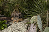 Fox Squirrel - among the lichen, black persimmon leaves, soap tree yuccas, and pricklypear cactus.