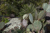 Rain or Prairie Lily - Prickly Pear nopales shadow upon the Live Oak trunk - foliose lichen encrusted upon the volcanic pink granite boulder - protruding spiked leaves of the Soaptree Yucca.