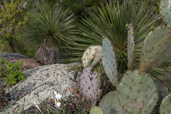 Rain or Prairie Lily (Cooperia pedunculata) - here with the Texas Pricklypear Cactus (Opuntia engelmannii var. lindheimeri) and the Soaptree Yucca (Yucca elata).