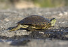 Texas Map Turtle - this species is sexually dimorphic, with females range in length from 5-8 in. (13-20 cm) long, while males tend to be about half the length of females - this specimen in transit across the limestone rock at Flat Rock Creek - Burnet county.