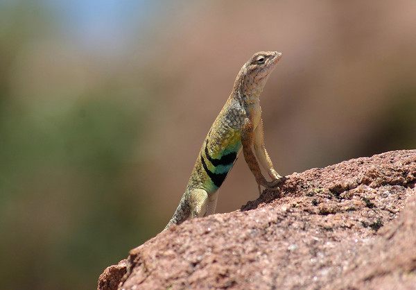 Greater Earless Lizard (Cophosaurus texanus) - the upper surfaces of the body are marked with tan, yellow, or peach spots surrounded by off-white or cream speckles - there are two dark bars on each side of the belly that extend up onto the sides just in front of the hind limbs, on males these bars are surrounded by light blue patches on the belly, as seen here.