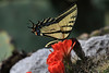 Two-tailed Swallowtail Butterfly (Papilio multicaudata) - measures about 5 in. (13 cm) in wingspan.