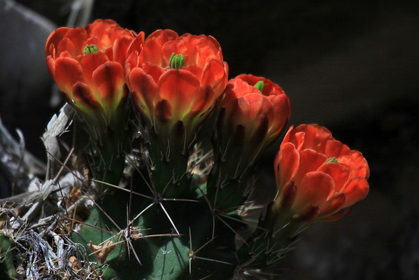 Claret Cup Cactus blooms - with the stigmas (female) protruding above the petals (corola) - and below the spines protruding from the areoles.