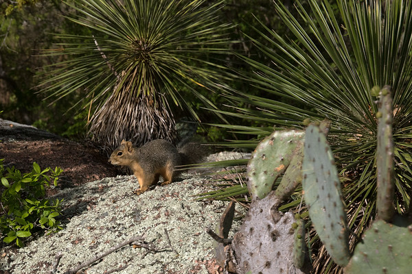Fox Squirrel - Enchanted Rock State Natural Area - morning sunlight.