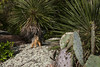 Morning sunlight upon a Fox Squirrel - upon the lichen encrusted pink volcanic granite - among the Soaptree Yuccas and Pricklypear Cactus.