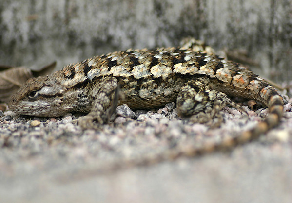 Texas Spiny Lizard - displaying its spiny dorsal scales - this species is insectivorous (some small invertebrates) - lifespan ranges from 10 - 15 years.