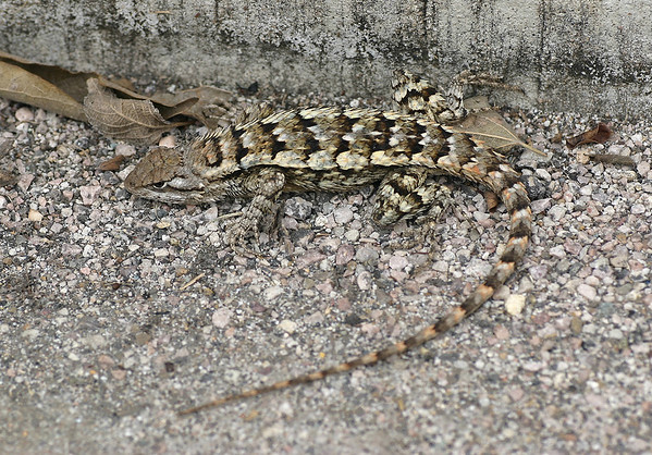 Texas Spiny Lizard (Sceloporus olivaceus) - found in north, central and south Texas - an arboreal species that grows to about 11 in. (30 cm) long, including its tail.
