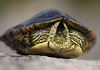 Initial one-eyed gander of the Texas Map Turtle - from between its shell.