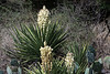 Floresence of the Spanish Dagger yucca - rising above its elongated, stiff, and sharp-pointed leafs.