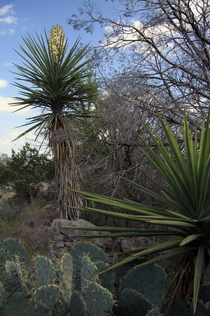 Spines prodruding from the areoles of the prickly pear cacti - long, rigid, and pointed leafs below and above a cluster bloom of the spanish dagger yucca - amongst the junipers - Burnet county.