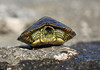 Texas Map Turtle - beginning to peak its head out from between its upper carapace (shell) and lower plastron.