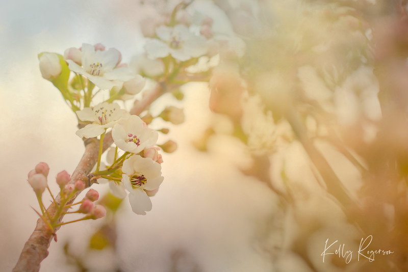 Is it just me, or is there something refreshing about blossoms? Perhaps it's because it's a sign of spring and soon summer... warmer temps, a break from winter and snow. Or perhaps it's just because they are gorgeous and bring a smile! Chanticleer flowering pear tree.