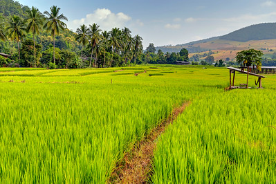 Chiang Mai, Rice Fields, Thailand (2)