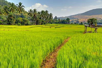 Chiang Mai, Rice Fields, Thailand (2)