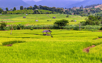 Chiang Mai, Rice Fields, Thailand (3)
