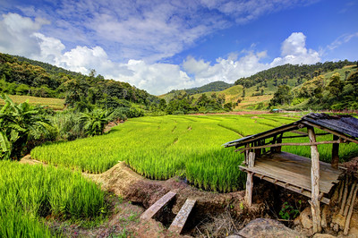 Chiang Mai, Rice Fields, Thailand (1)