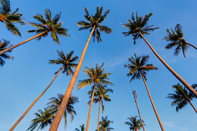 Tall Palm Trees (2)