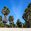 Sugar Palms on the Beach