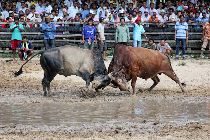 Southern Thai Bull Fighting  (4)