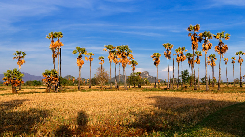 Thailand Dry Season (Sugar Palms)