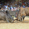 Southern Thai Bull Fighting  (1)