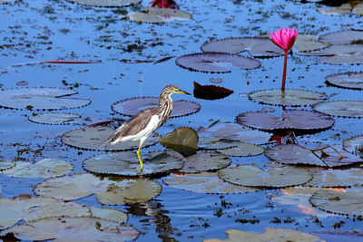 Thale Noi Waterfowl Park, Phatthalung, Thailand (6)