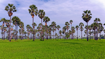 Ricefield & Sugar Palms (1)