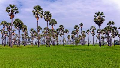 Ricefield & Sugar Palms (1)