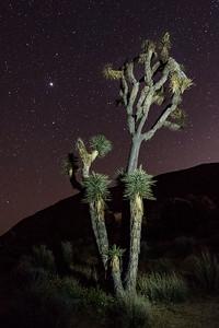 Joshua Tree & Night Sky