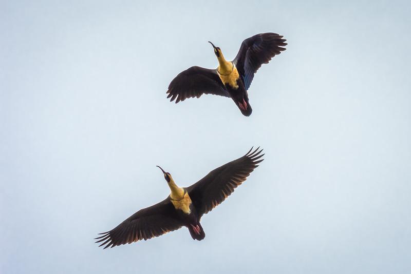 Bandurria in flight