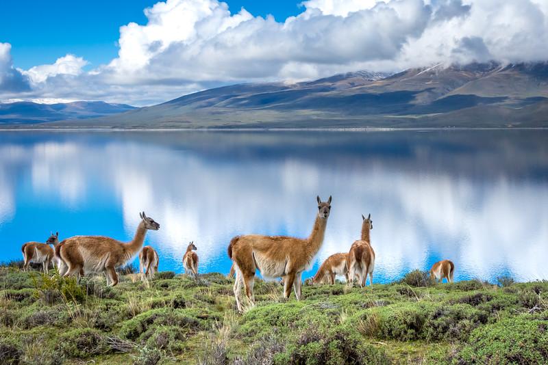 Guanacos feeding by Lake Sarmiento
