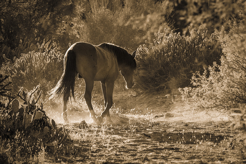 'Into the Sunset', Salt River Wild Horses, Salt River, just outside of Phoenix, AZ