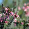 Australian native wildflower Pink Five-Corners  IV