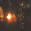 Twilight Wattle