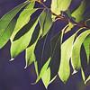 Back Lit Beauty of Woody Pear Leaves